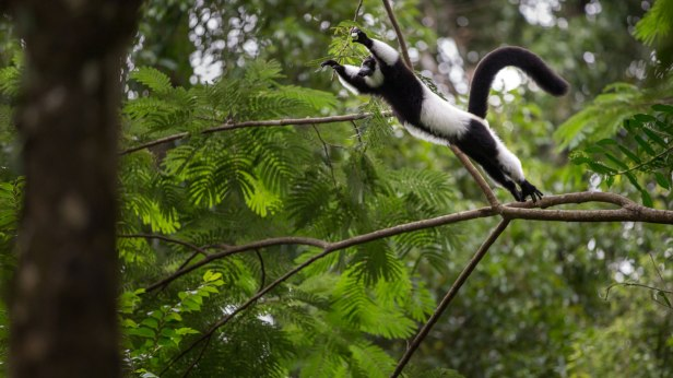 madagascar-robin-hoskyns-black-and-white-ruffed-lemur-jumping-endangered-2.jpg